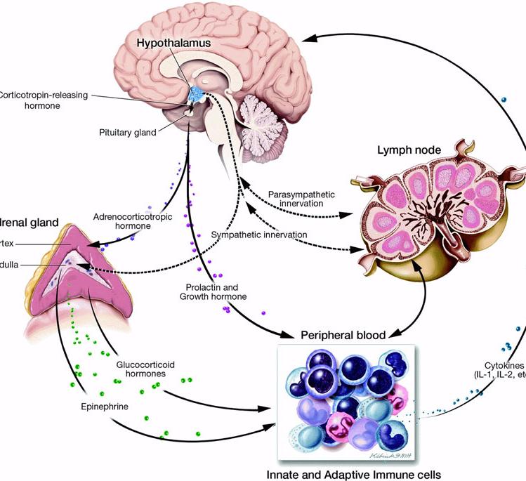 Пролактин кортизол гормоны стресса у женщин и мужчин, как уменьшить