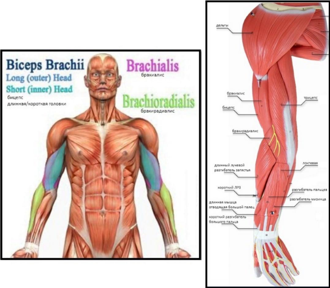 Клювовидно плечевая мышца википедия - о костях