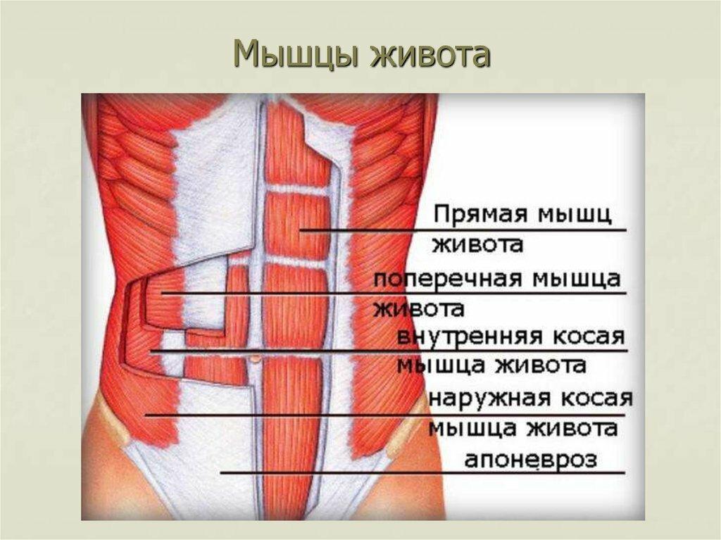 Как накачать косые мышцы живота? лучшие упражнения на боковой пресс