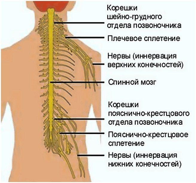Симптомы и лечение защемления нерва в грудном отделе позвоночника
