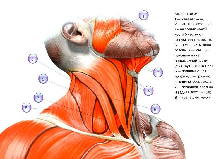 Мышцы шеи: как накачать их лучшими упражнениями