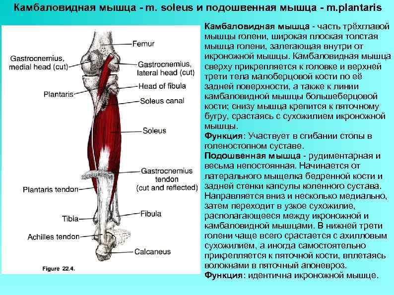 Анатомия грудных мышц. строение и основные функции