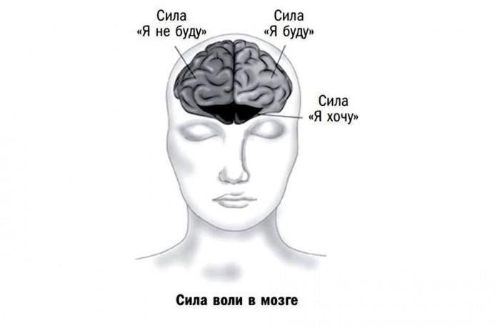 Где конкретно «живет» сила воли: просто о физиологии