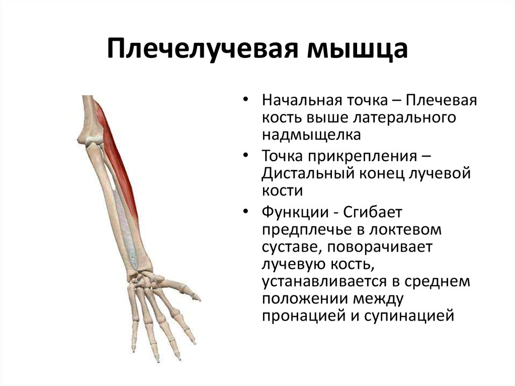 M. brachioradialis, плечелучевая мышца