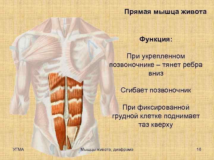Мышцы живота – как устроены, и почему важен каждый мускул?