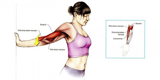 Развитие плечевого пояса: как сделать плечи шире, упражнения и особенности тренировок