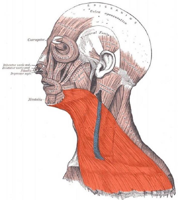 Подкожная мышца шеи: секрет молодой и здоровой шеи - здоровье | доброхаб