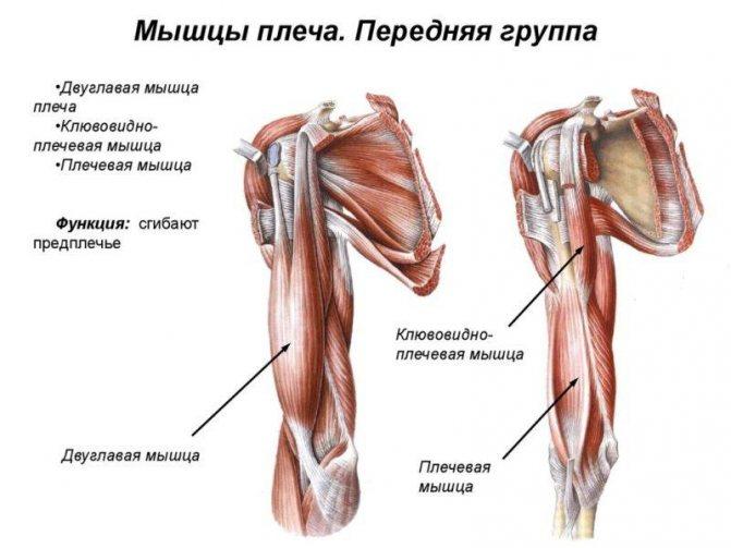 Мышцы рук: строение и функции