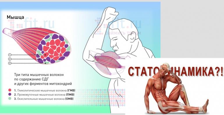 Тест: соотношение медленных и быстрых мышечных волокон » спортивный мурманск