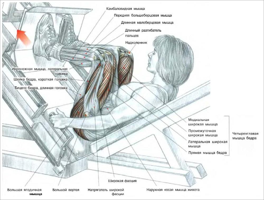 Жим ногами в тренажёре - лучшая техника и особенности выполнения для начинающих (фото + инструкция)