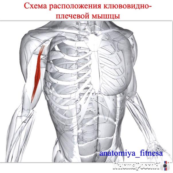 Анатомия мышц плеча