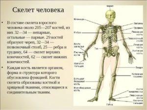 """""""у меня кость широкая"""": что говорят ученые о плотности и весе костей"""