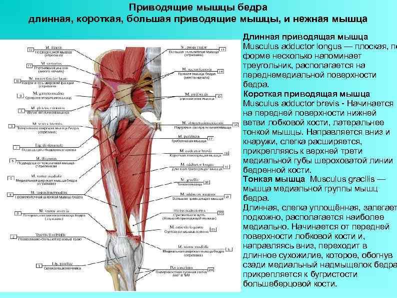 Где находится четырехглавая мышца бедра: фото начала и прикрепления мышцы