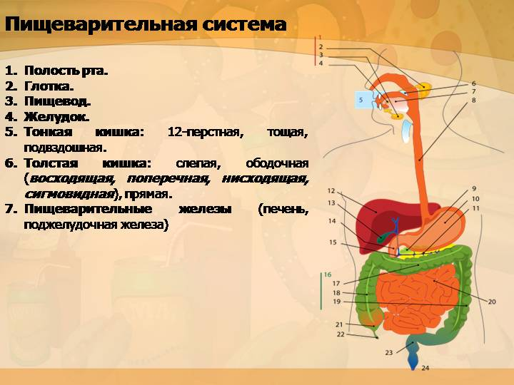 Общие принципы регуляции процессов пищеварения