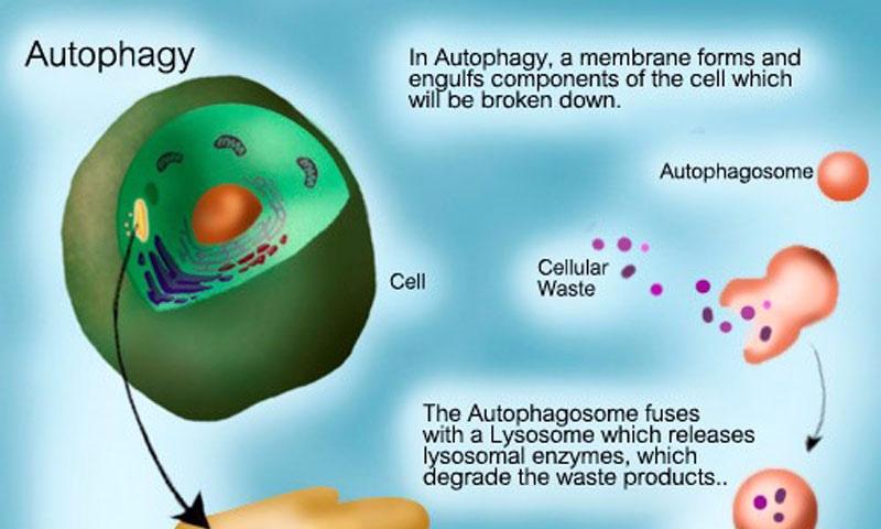 Периодическое голодание, долгая здоровая жизнь и аутофагия клеток