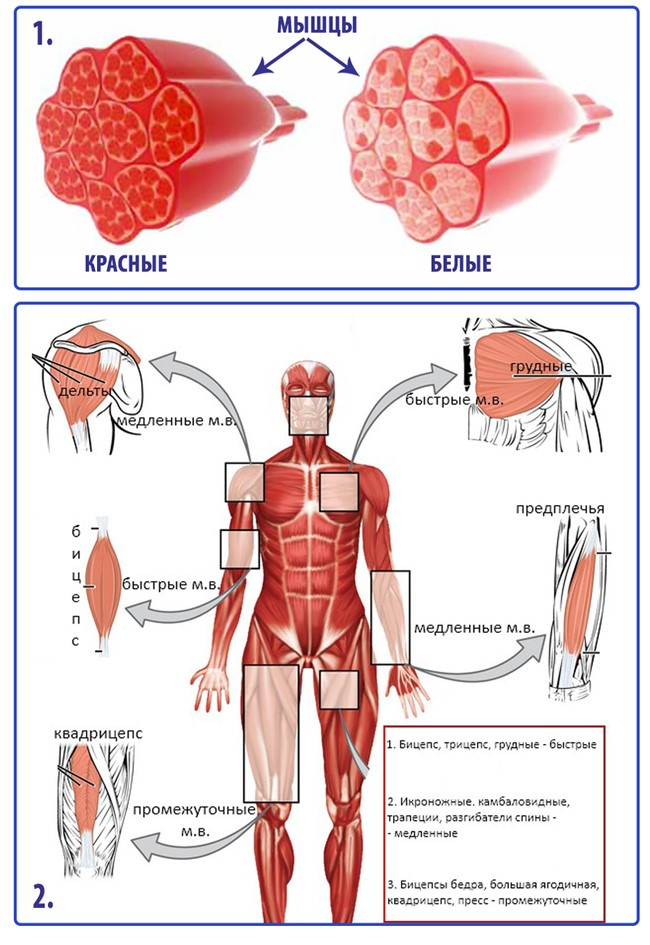Типы мышечных волокон и правила их тренировки