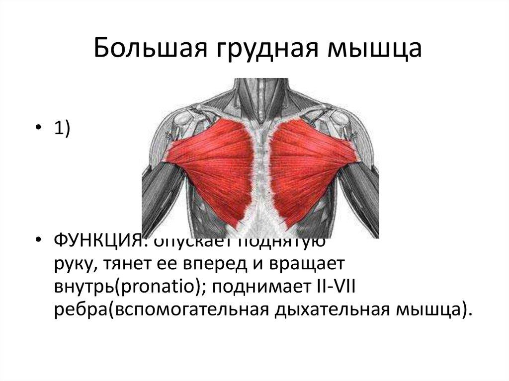 Чем отличается женская большая грудная мышца от мужской?