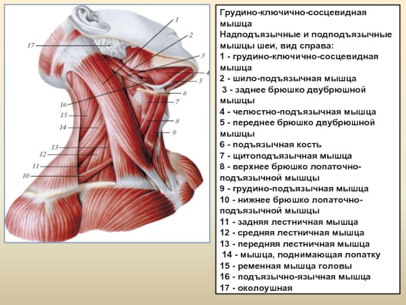 Тренировка мышц шеи. виды и техника выполнения полное руководство.
