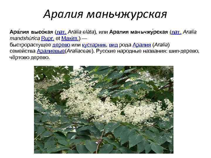 Аралия маньчжурская — лечебные свойства и противопоказания