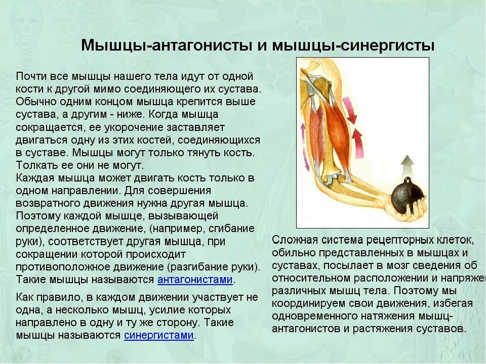 Работа мышц. элементы биомеханики - мышечная система - атлас анатомии человека