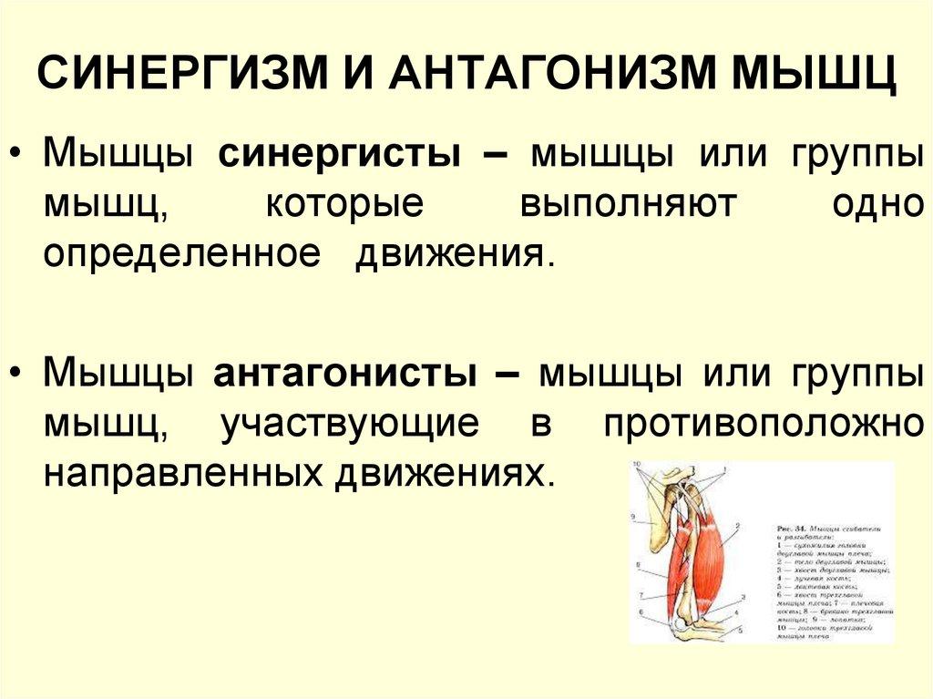 Особенности мышц антагонистов и синергистов, примеры программ