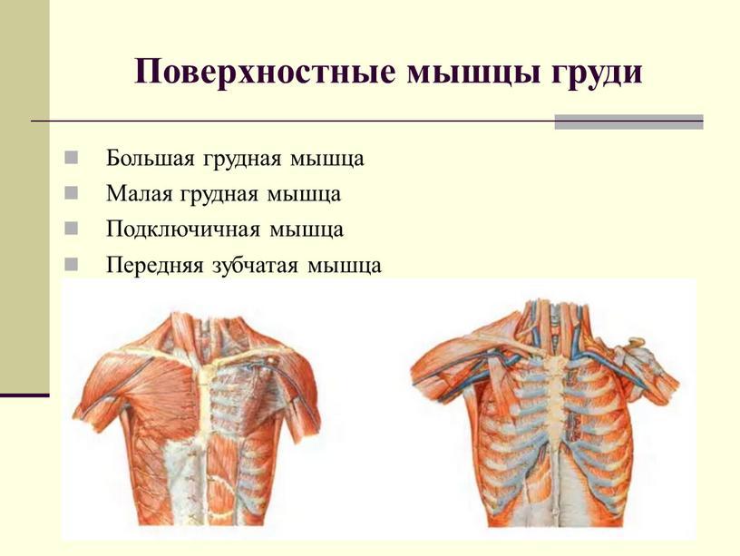 Анатомия грудных мышц мужчины и женщины