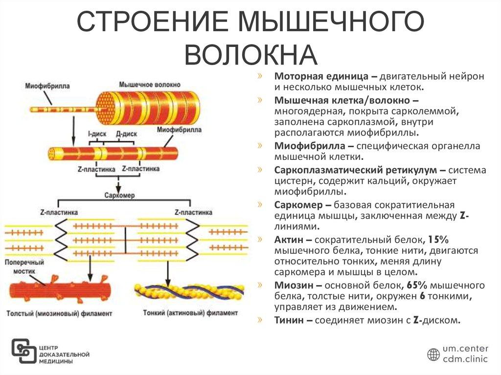 Строение мышц и типы мышечных волокон
