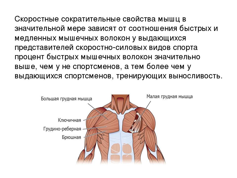 Быстрые и медленные мышечные волокна