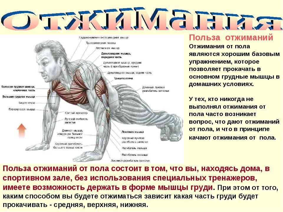 Отжимания от пола: какие мышцы качаются, эффективные нагрузки на разные группы мышц