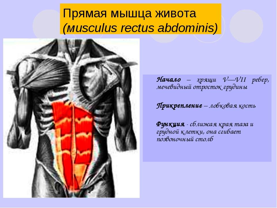 Информация о мышцах живота и малого таза