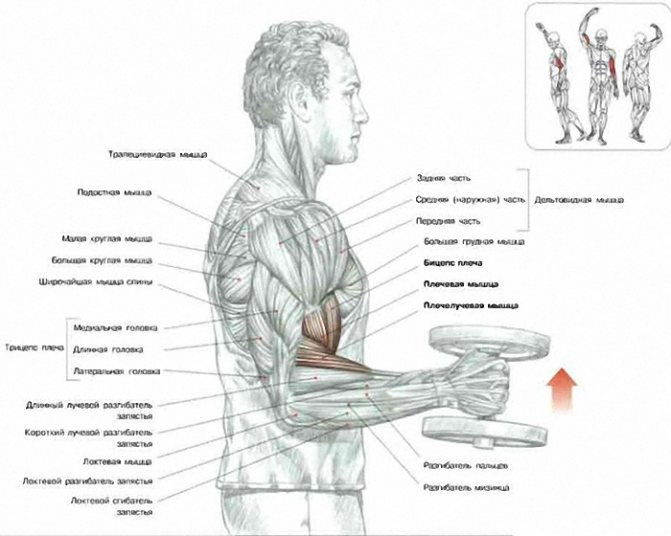 Анатомия мышц спины и их функция.