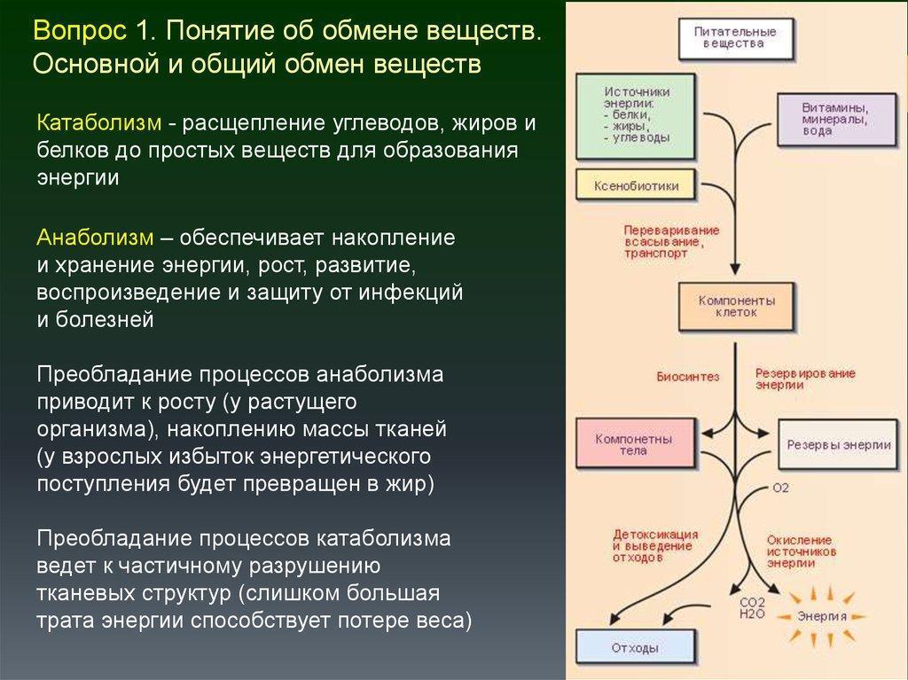 Обмен веществ и энергии в организме человека: кратко и понятно