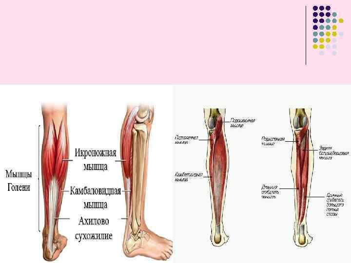 Анатомия мышц ног: полный разбор мышц+лучшие упражнения для их развития