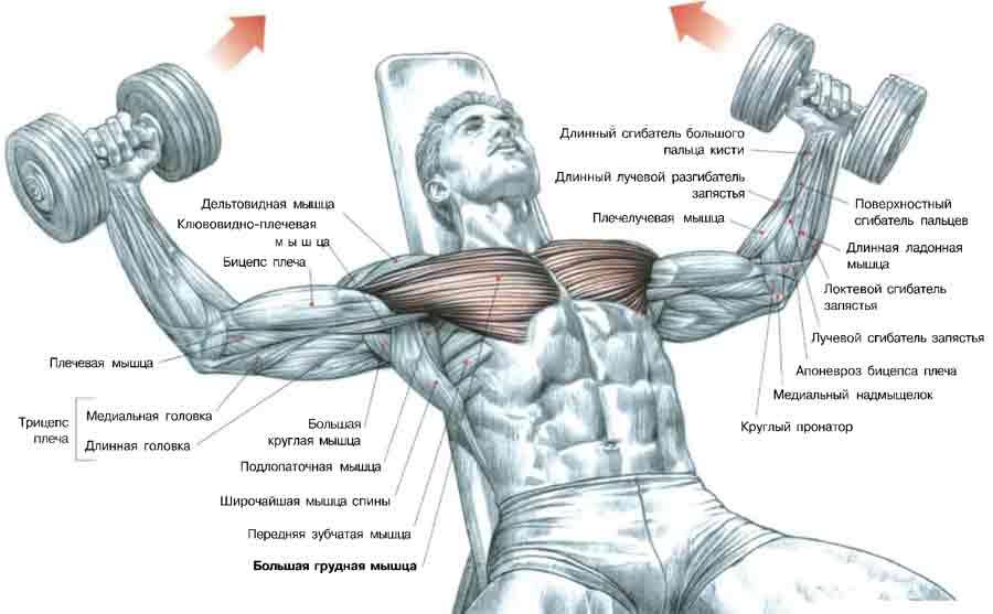 Как правильно качать мышцы – основные советы новичку!