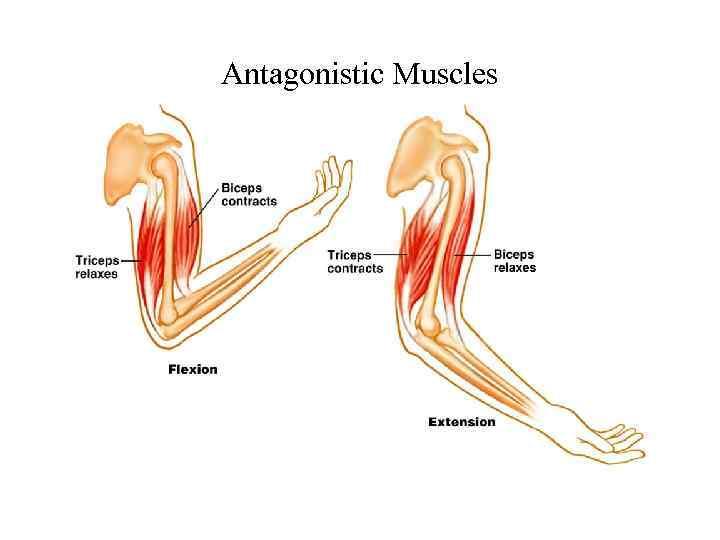 Что такое мышцы синергисты и антагонисты. мышцы антагонисты и мышцы синергисты
