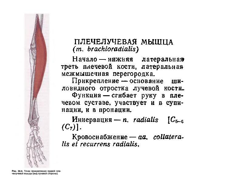 Плечелучевая мышца — википедия