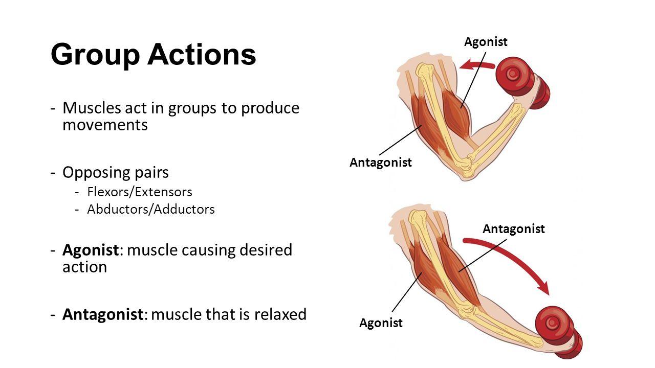 Мышцы-антагонисты. какие мышцы относятся к антагонистам, а какие к синергистам?