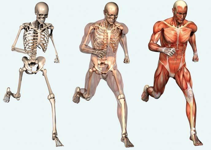 Самая сильная мышца в теле