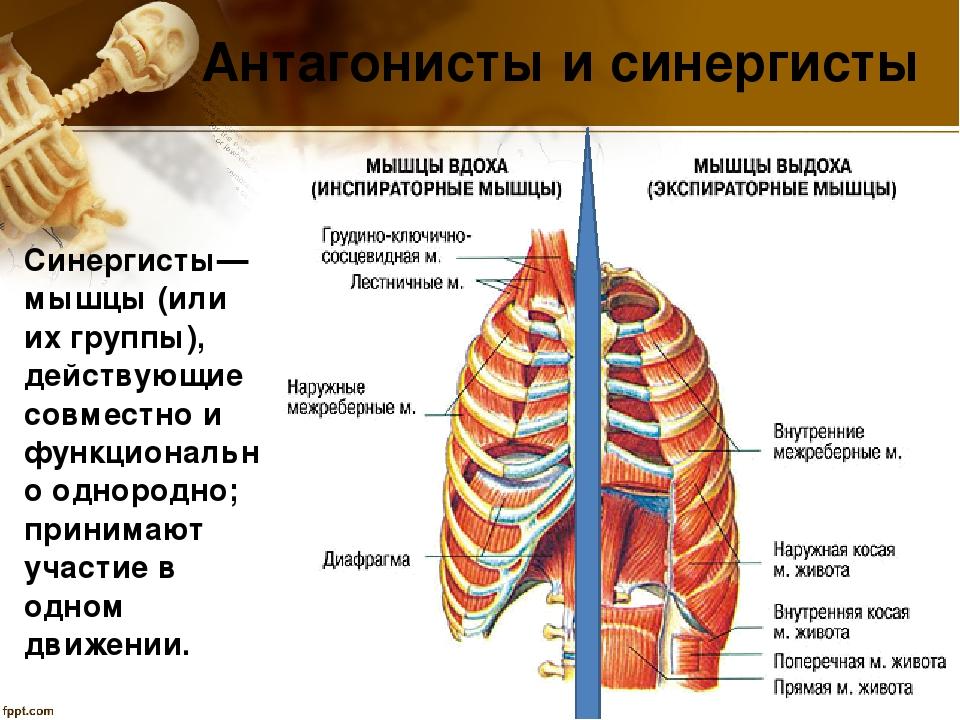 Все мышцы антагонисты и синергисты таблица
