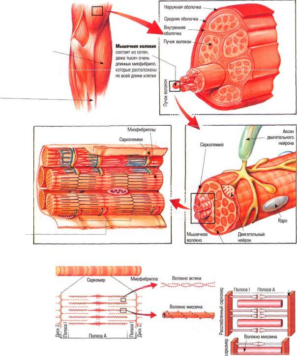Быстрые и медленные мышечные волокна: что вам нужно о них знать