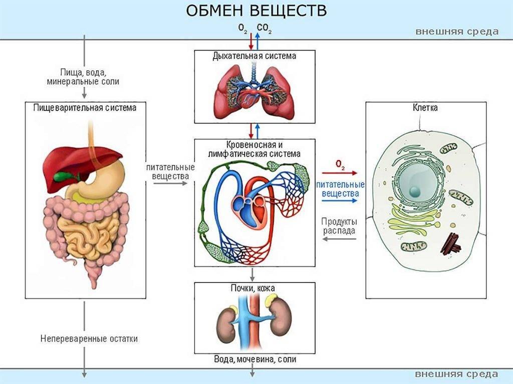 Признаки быстрого обмена веществ, причины увеличения скорости метаболизма