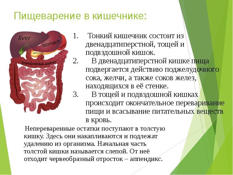 Как происходит пищеварение в тонком кишечнике?
