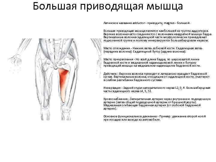 Анатомия мышц бедра. медиальная группа