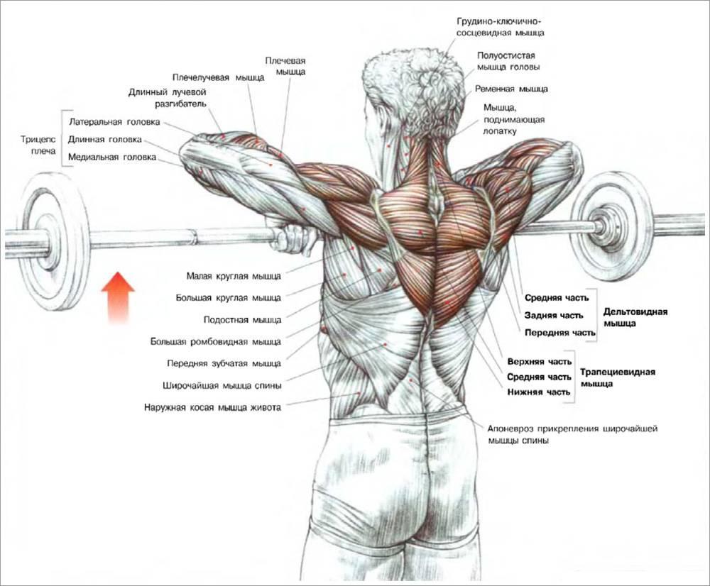 Тяга штанги к подбородку стоя широким, узким или средним хватом: какие мышцы работают, техника выполнения