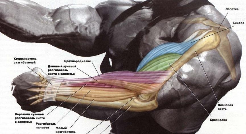 Упражнения для клювовидно плечевой мышцы