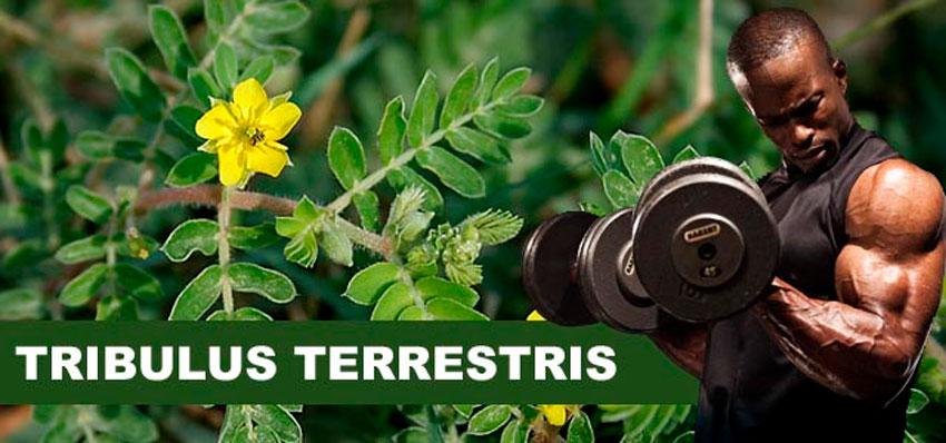 Как трибулус террестрис поможет тебе построить офигенное тело!