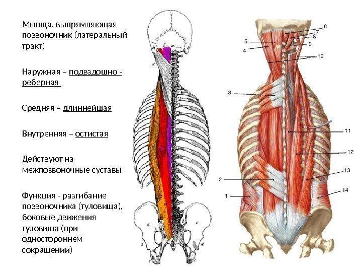 Мышцы разгибатели спины анатомия - терапевттут