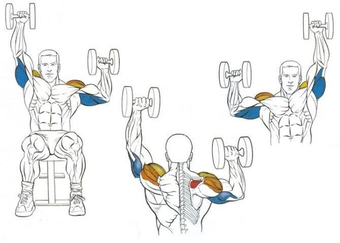 Жим арнольда: техника выполнения, стоя и сидя, какие мышцы работают, видео