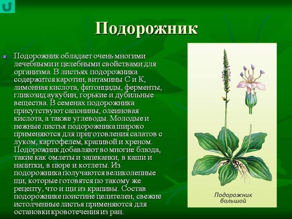 Подорожник - лечебные свойства и противопоказания. лист, семя, семена, сок подорожника