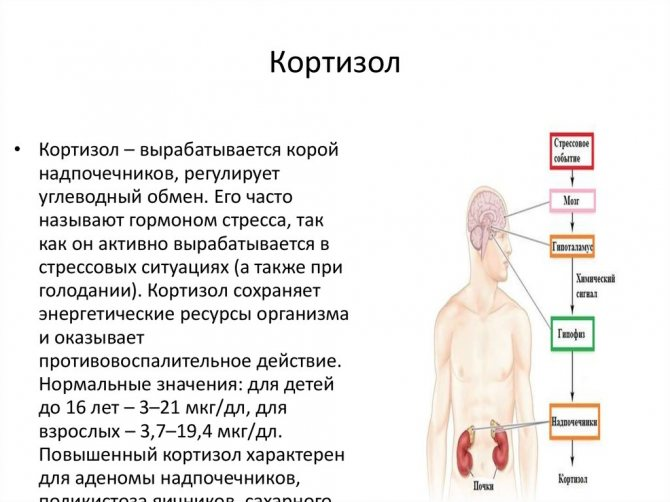 Роль кортизола в организме человека